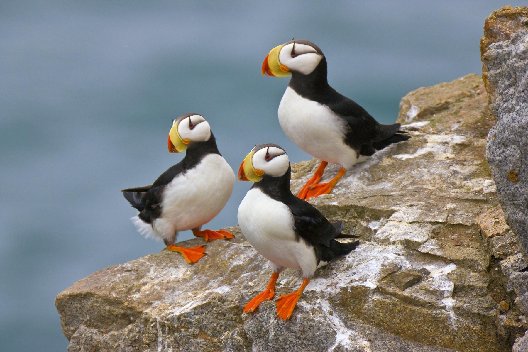Птицы в Исландии